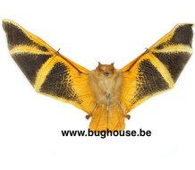 Kerivoula Picta -Spread- (indonesia)