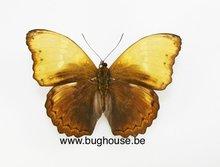 Cymothoe haynac diphyia (RCA) -spread-
