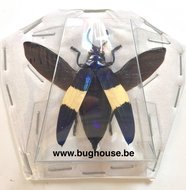 Chrysochroa castelnaudi (Perak) SPREAD