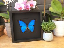 Morpho Didius framed Black