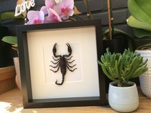 Frame with scorpion