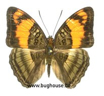 Adelpha mesentina (Peru)