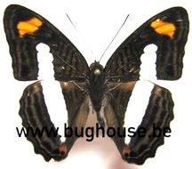 Adelpha Iphiclus (Peru)