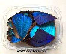 Blue morho butterfly wings for art work
