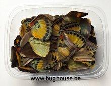 Euphaedra butterfly wings for art work