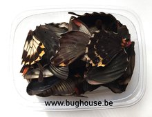 Papilio Lowi butterfly wings for art work