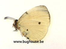 Larinopoda Lircaea (RCA)