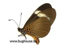 Acraea Epiprotea (RCA)
