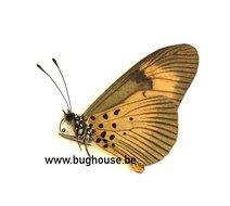 Acraea Aurivilliialciope (RCA)