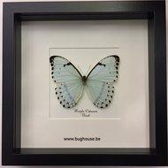 Morpho Catenaria - Black framed