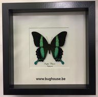 Papilio Blumei - Black framed