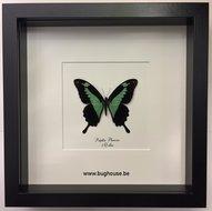Papilio Phorcas - Black framed