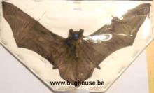 Pipistrellus kuhlii (Java) SPREAD