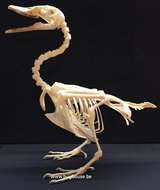 Duck Skeleton (Nuscovy duck)