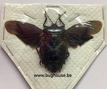 Heteroptera ssp. Mindanau (Java) SPREAD