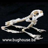 Asian Common Toad skeleton