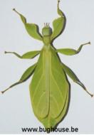 Phyllium Taboloense Bhaskarai (Buru)