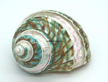 Turbo Burgos shell 8cm